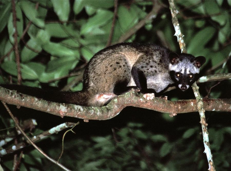 Asian Palm Civet in it is natural habitat