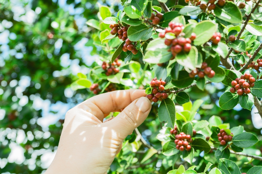 Coffee fruits in the tree