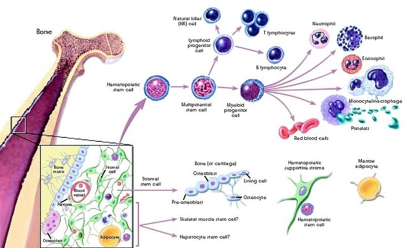 Stem cell differentiaion is also adversely effected by ageing