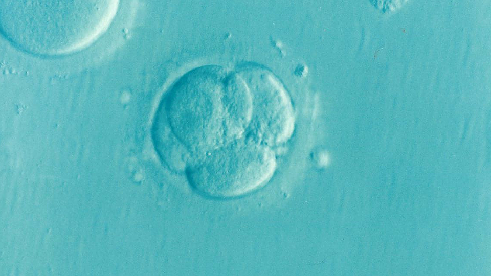 Human embryo in four cell stage.