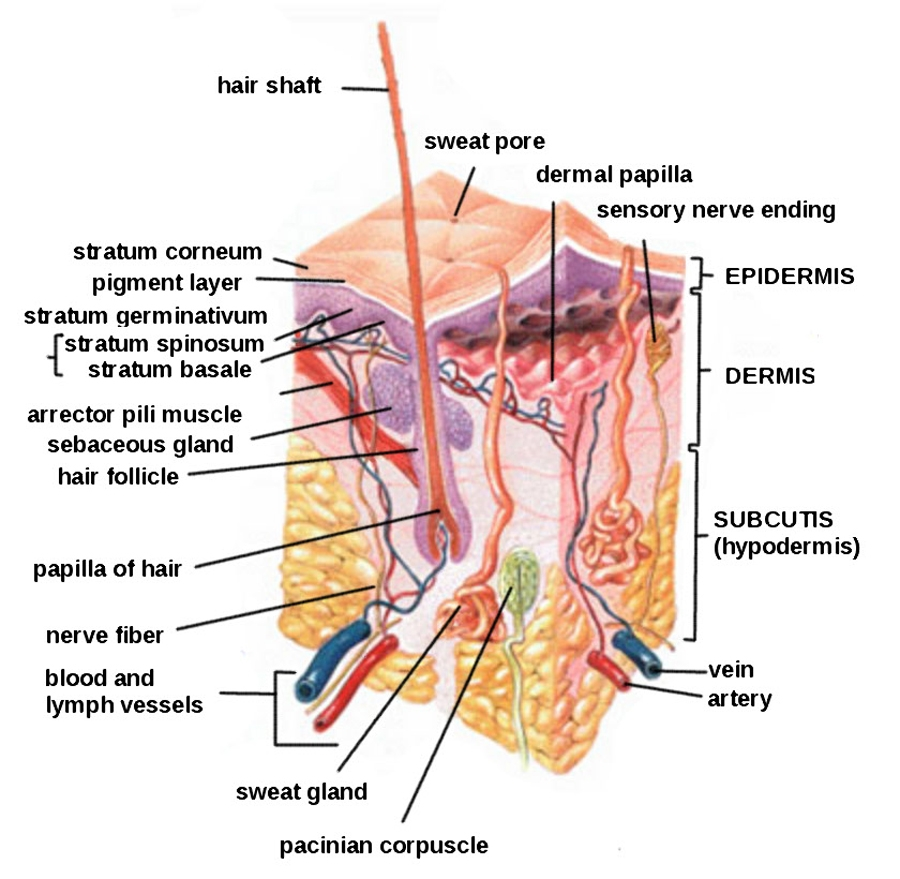 Knowledege of skin anatomy is essential for the procedure
