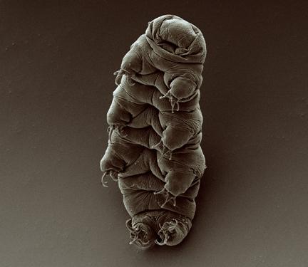 Adult tardigrade -- The toughest living organism