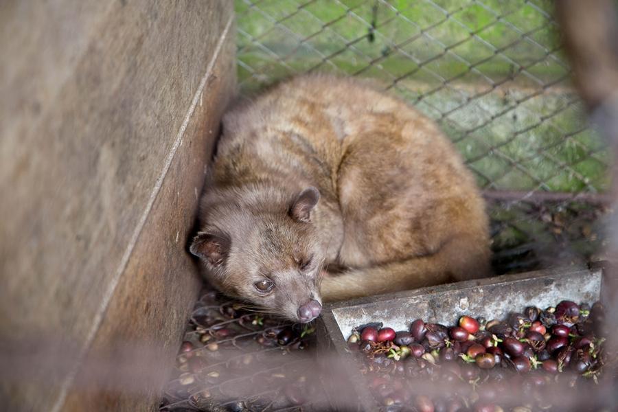 A civet cat in captivity